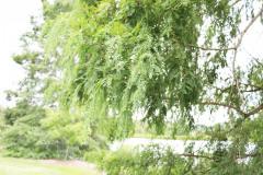 119_Dawn-Redwood_Foliage_Updated-photo-2020