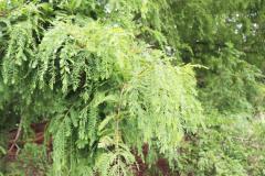 119_Dawn-Redwood_Foliage_Updated-photo-20201