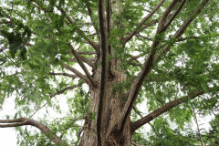 119_Dawn-Redwood_Limbs-and-canopy_Updated-photo-2020