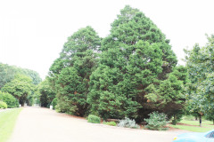 122_Leyland-Cypress_Entire-Tree-Right_-Updated-photo-20201