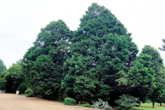 122_Leyland-Cypress_Entire-tree-LEFT_Updated-photo-2020