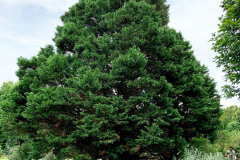 122_Leyland-Cypress_Entire-tree_Updated-photo-2020