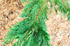 122_Leyland-Cypress_Foliage_Updated-photo-2020