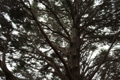 122_Leyland-Cypress_Trunk-and-foliage_-Updated-photo-2020