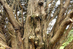 122_Leyland-Cypress_Trunk_Updated-photo-2020
