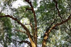 087_Laurel-Oak_Canopy_Updated-photo-2020