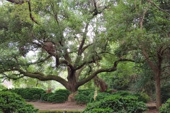 Morrocroft-Lane-Live-Oak-whole-tree