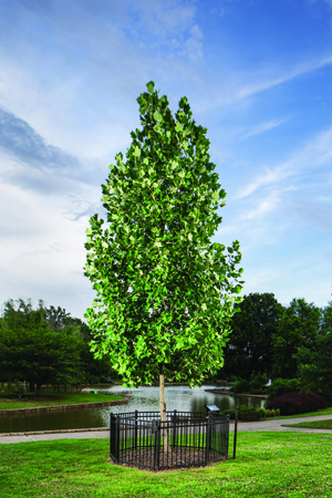 Charlotte's Liberty Tree, a tulip poplar in Freedom Park, is a descendant of the last remaining liberty tree.
