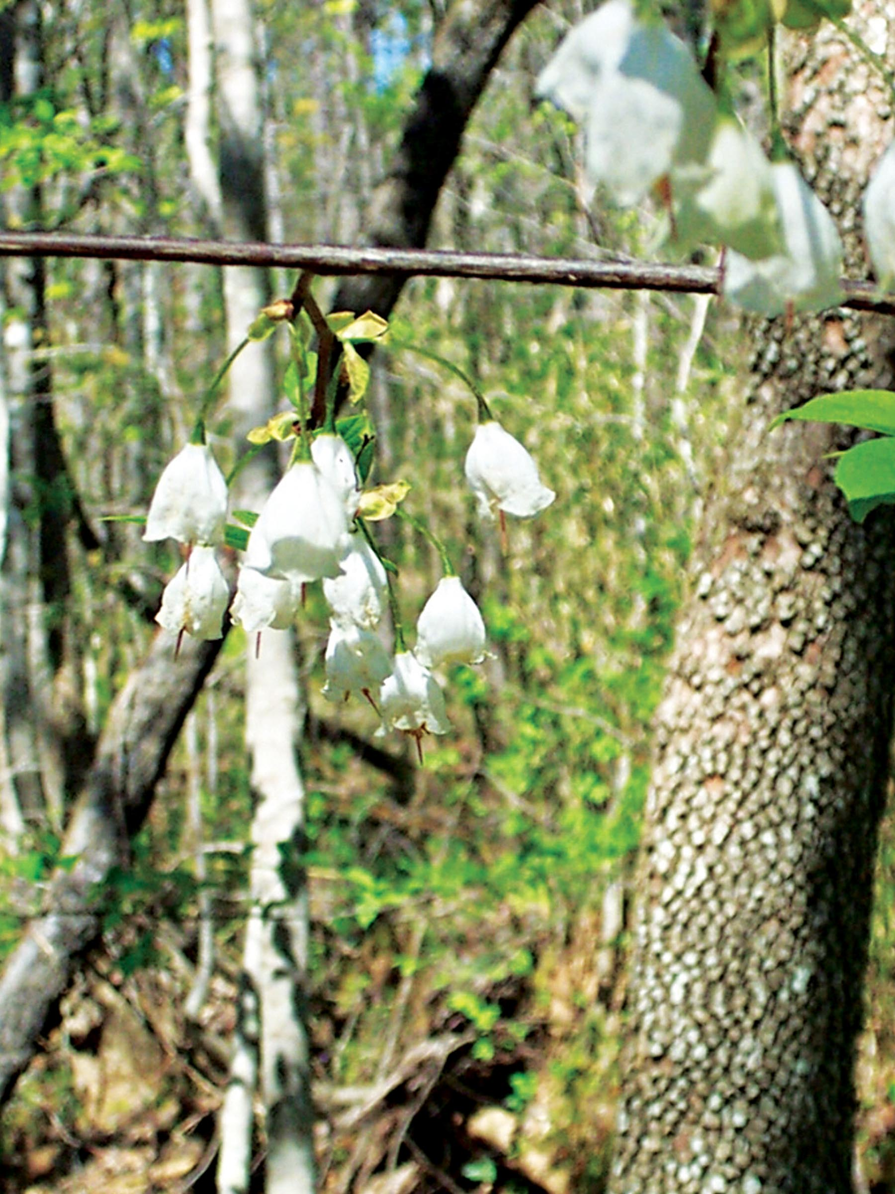 Diversifying charlotte treescharlotte typically growing from about 30 to 50 feet tall with smooth gray bark and a broad rounded crown its fragrant white flowers appear in early summer mightylinksfo Image collections