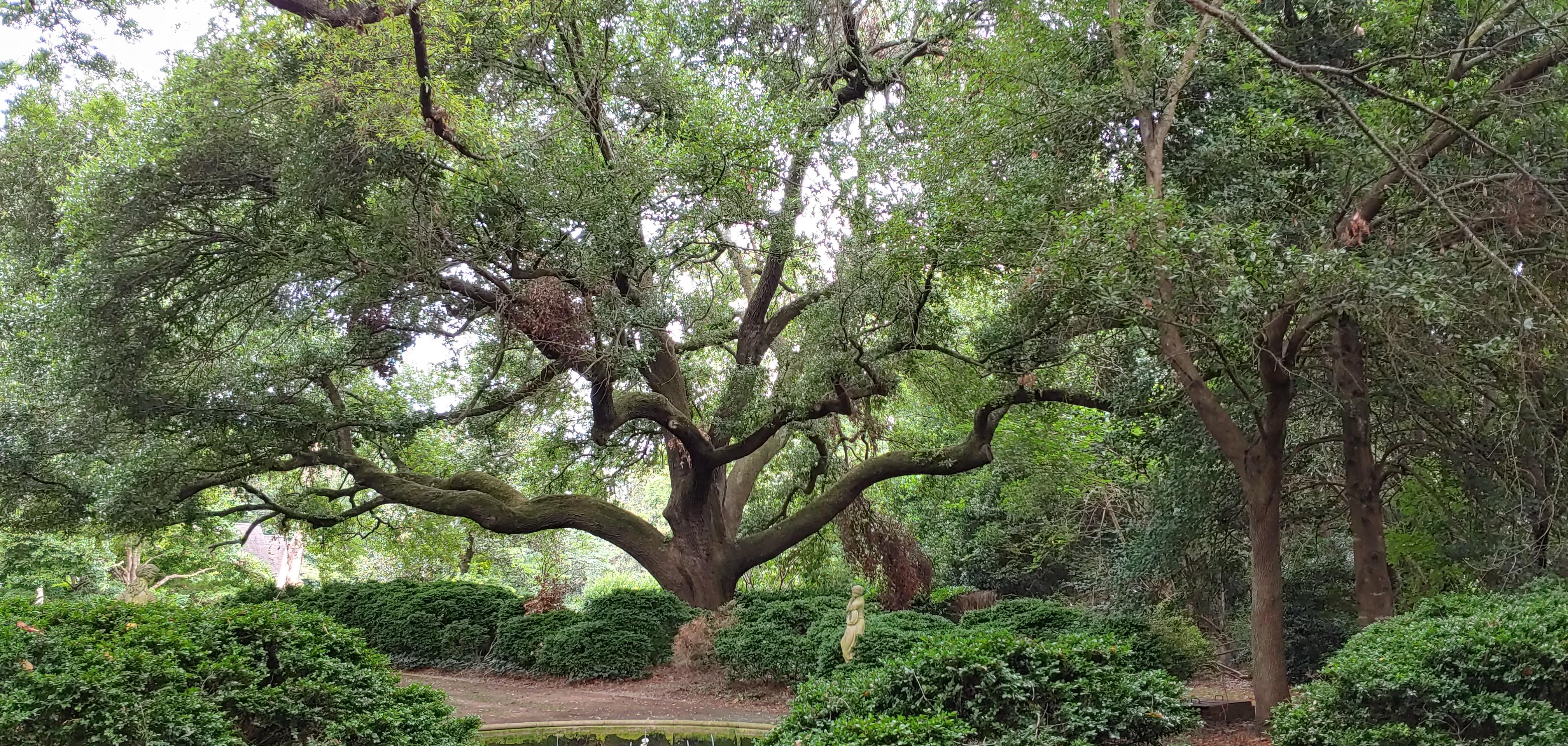 Morrocroft Lane, Live Oak, whole tree