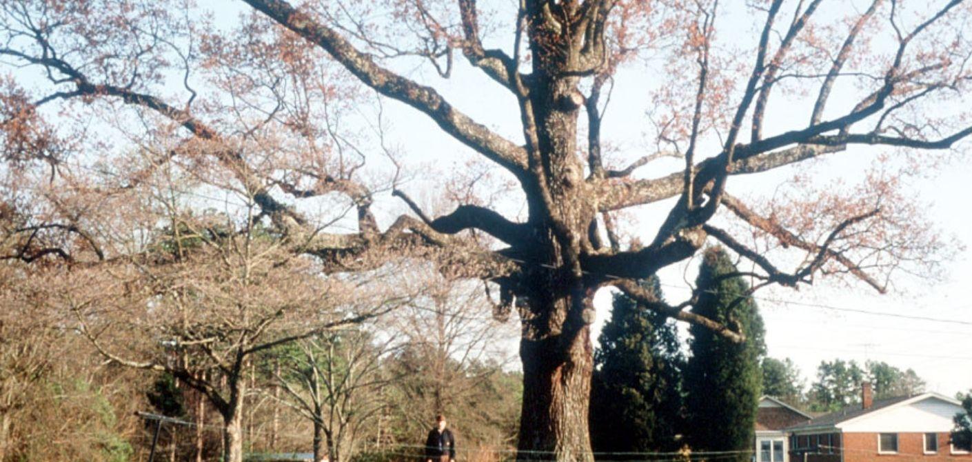 039_ Southern Red Oak