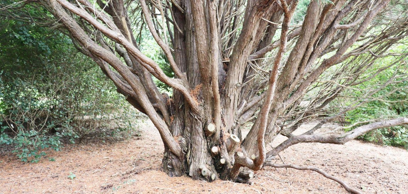 059_ Leyland Cypress