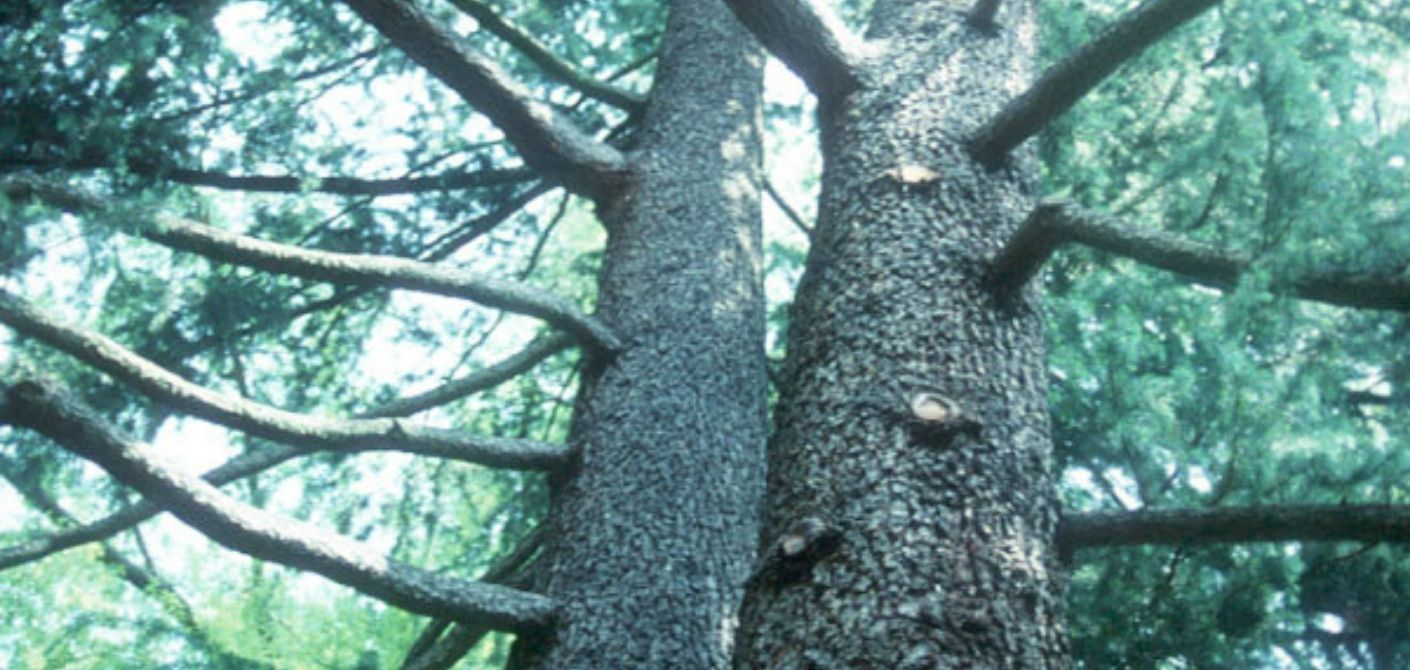 061_ Deodar Cedar
