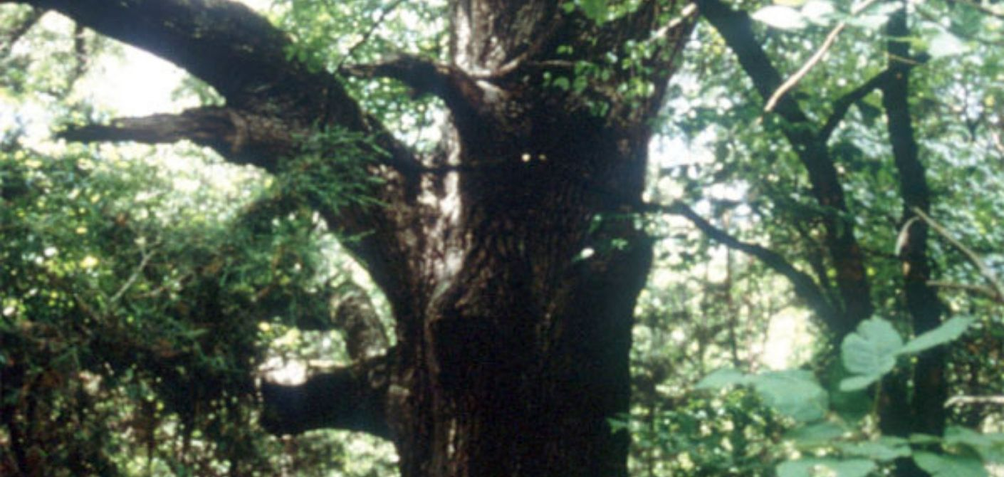 065_ Southern Red Oak