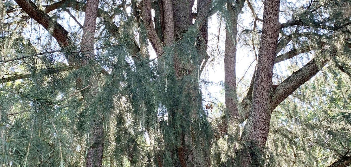 071 Deodar Cedar