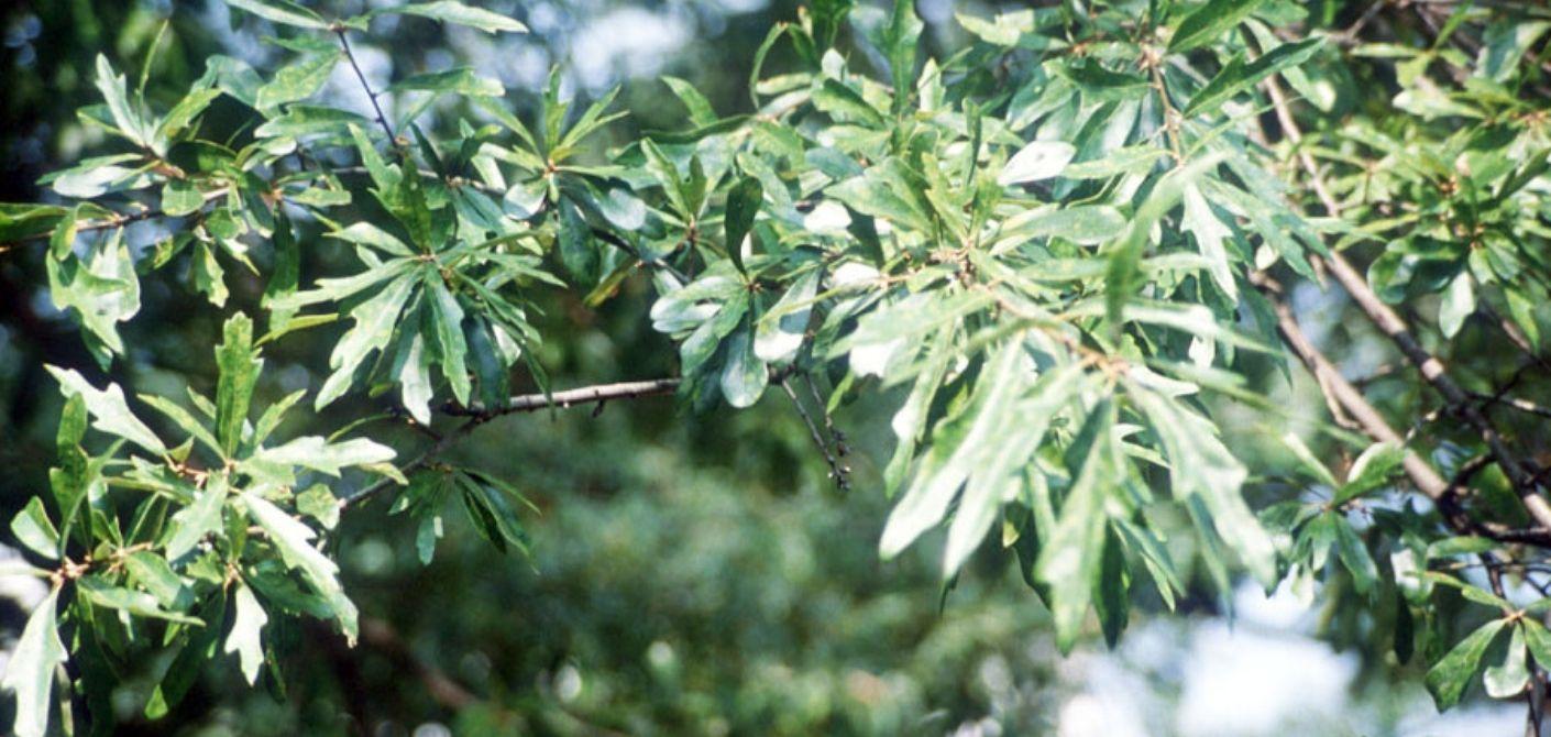 075 Water Oak