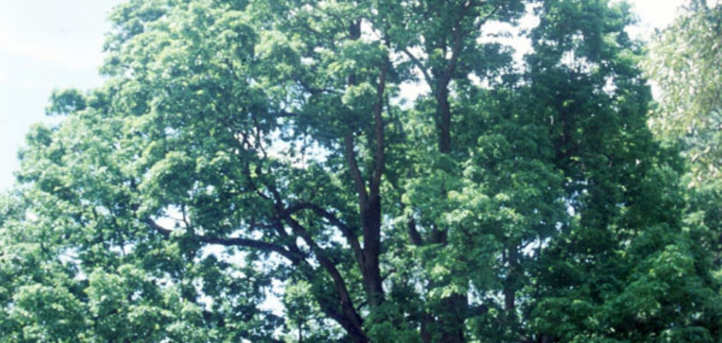077 White Oak