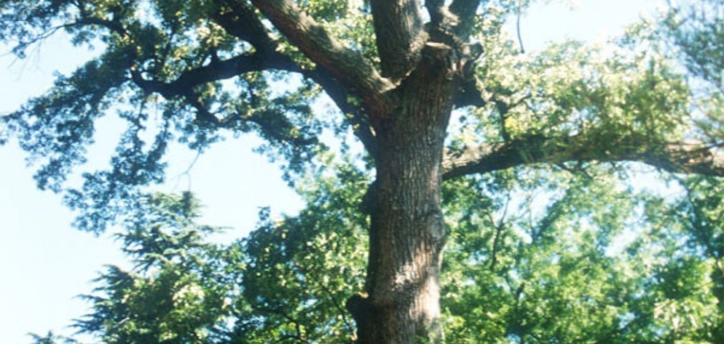 079 Southern Red Oak
