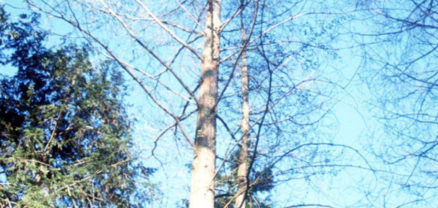080 bald cypress
