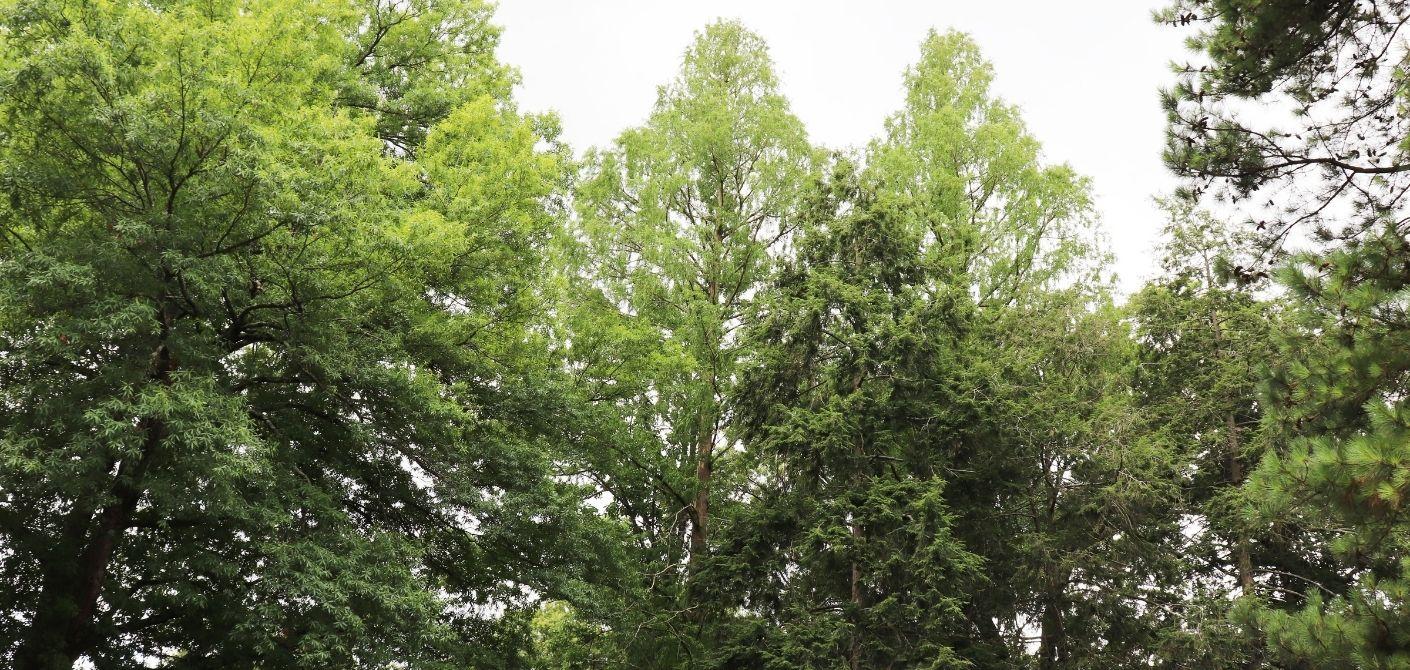 081 bald cypress