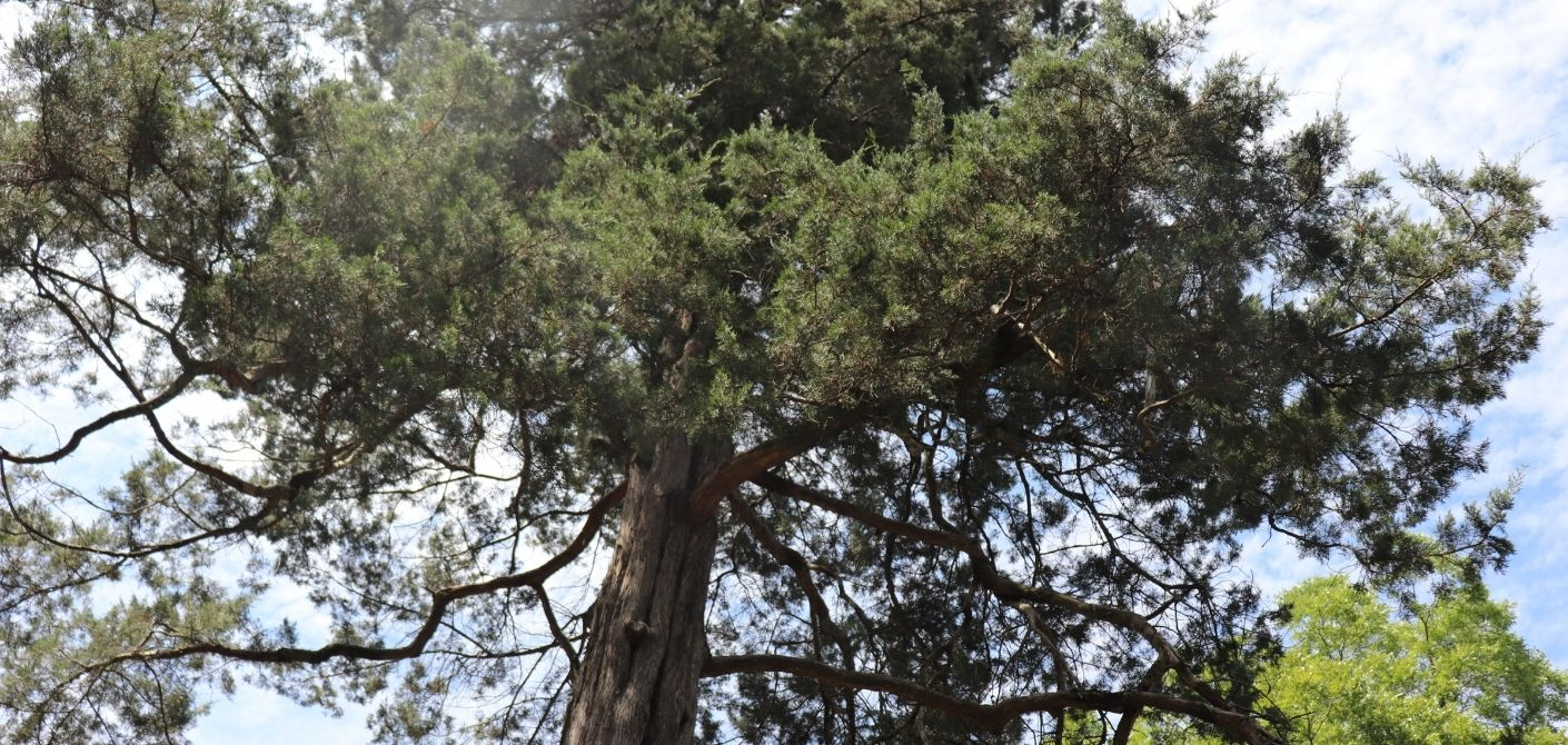 097 Eastern Red Cedar