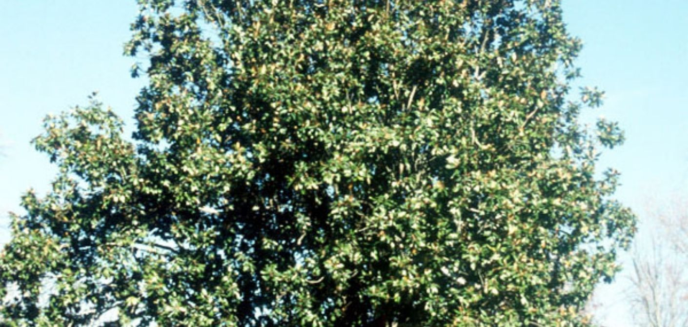 104 southern magnolia
