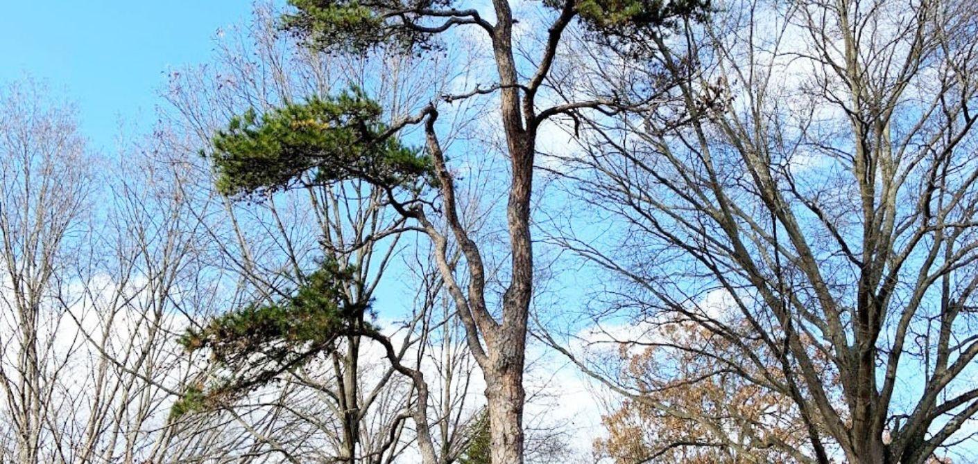 105 Virginia pine