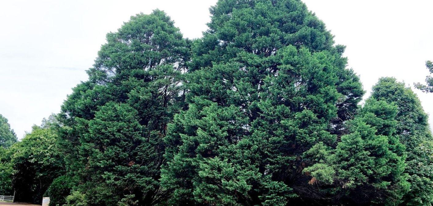 122 leyland cypress