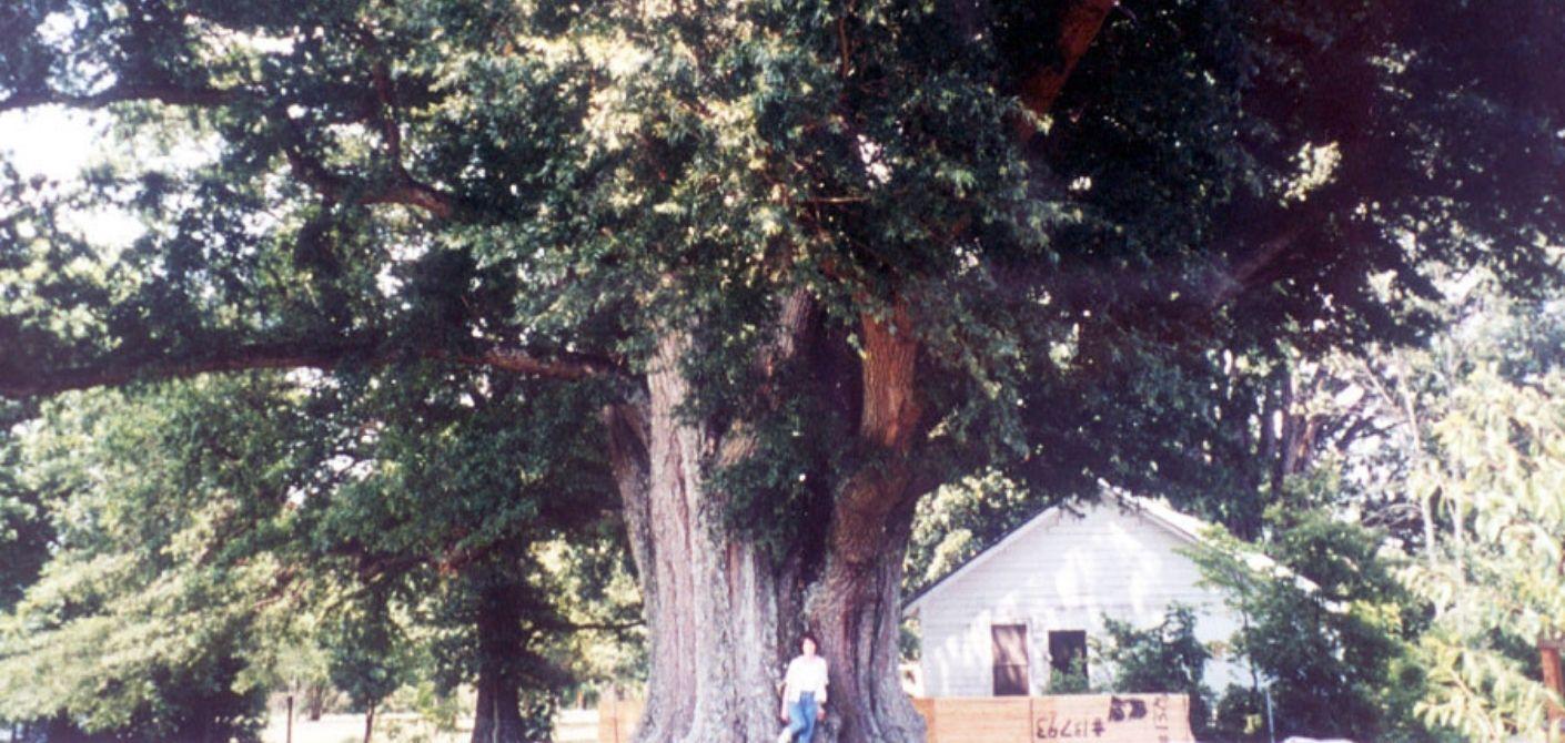 31 Willow Oak