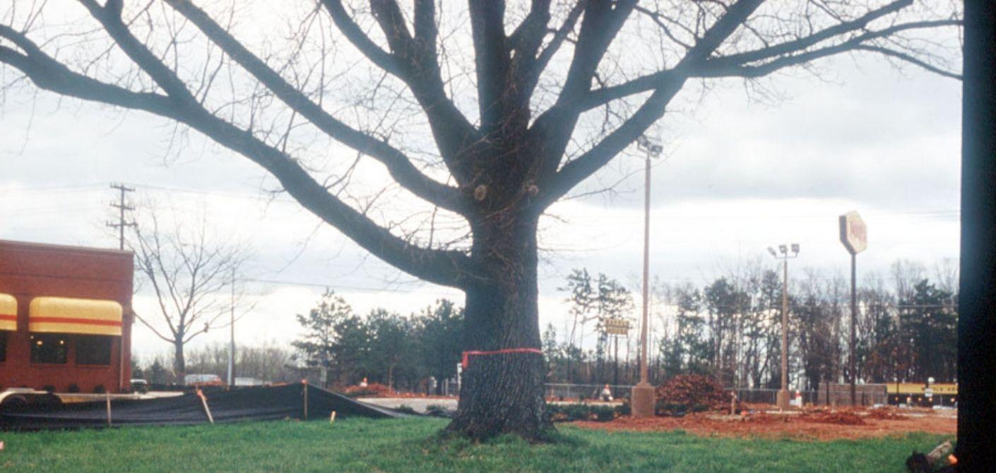 32 Bur Oak